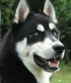 Picture of a Husky dog