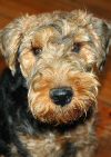 Guus a Terrier dog picture
