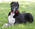 Harry Great Dane and Dalmation-Border Colie Mix dog picture