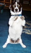 Huck or Huckelberry Jack Russell dog picture