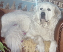 Lola Great Pyrenees dog picture